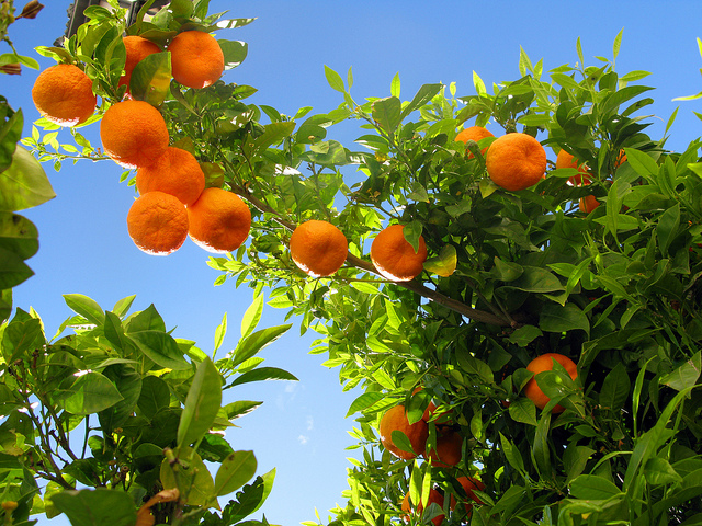 Letting Go and Moving On: Lessons from an Orange Tree